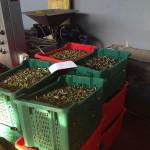 31a---Pesatura-delle-olive