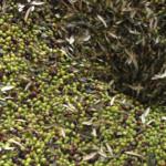 32 - Defogliatura delle olive