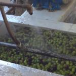 33 - lavaggio olive